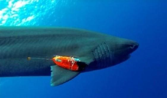 طعوم على كاميرات تحت الماء لتعداد أسماك القرش بالعالم