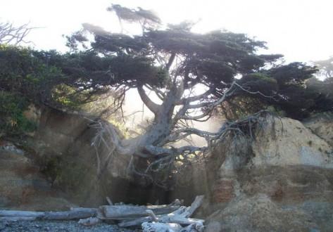 بالصور – شجرة معمرة رغم أن جذورها في الهواء