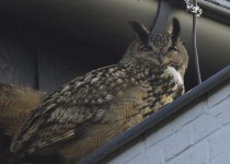 FILE - In this Sunday, Feb. 22, 2015, file photo, an eagle owl sits under the roof of a building in Purmerend, Netherlands. A falconer has captured an aggressive eagle owl that terrorized a Dutch town by swooping out of the sky and sinking its talons into residents' heads. (AP Photo/Jacob Jorritsma) MANDATORY CREDIT