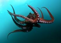 Underwater-octopus-hd-wallpaper-free