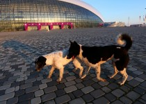 SOCHI, RUSSIA - FEBRUARY 02:  Stray dogs walk in front of the Bolshoy Ice Dome ahead of the Sochi 2014 Winter Olympics on February 2, 2014 in Sochi, Russia.  (Photo by Quinn Rooney/Getty Images)