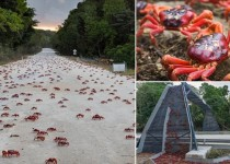 PIC BY KIRSTY FAULKNER/MERCURY PRESS (PICTURED: THE MASS CRAB MIGRATION) The world's biggest annual land crab migration has become with millions of red crabs heading for the sea on Christmas Island. The bright red red crabs are well known for their annual mass migration to the ocean to lay their eggs.  Migration began late this year as the crab movement is triggered by the rains which only arrived on the island, in the Indian Ocean, last week.  SEE MERCURY COPY