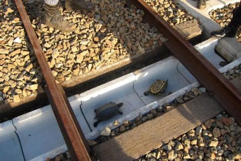 ابتكار ياباني لمساعدة السلاحف على عبور السكة الحديدية بأمان