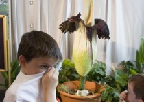 """Brenden Sterken (L), 11, of Friendswood, Texas covers his face to the smell of the Amorphophallus titanum plant, better known as the """"Corpse Flower"""", as it blooms inside the Houston Museum of Natural Science in Houston July 23, 2010. Corpse flower blooms are extremely rare and release a strong odor of rotting meat in order to attract pollinating insects.     REUTERS/Richard Carson  (UNITED STATES - Tags: SOCIETY ENVIRONMENT)"""