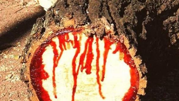 شجرة تنزف الدمّ عند قطعها!