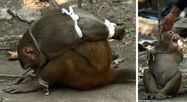 """القاء القبض على القرد """"اللص"""" في الهند بعد مطاردة 6 أشهر"""