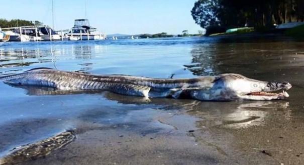 مخلوق بجسم تمساح ورأس دلفين يظهر في أستراليا