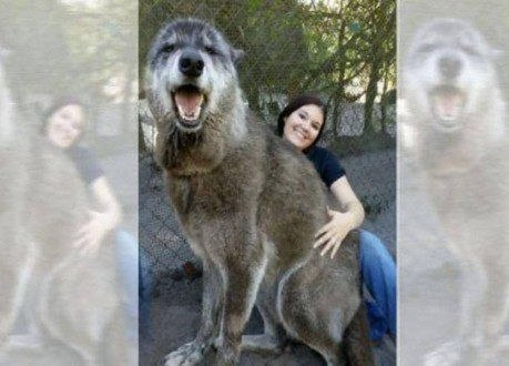 كلب عملاق يثير الذهول!