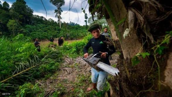 أغلى شجرة بالعالم.. الكيلوغرام بـ 100 ألف دولار !