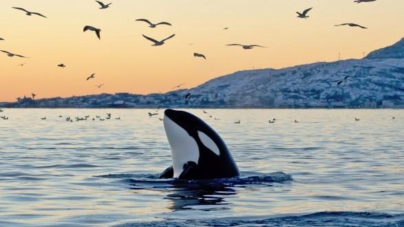 ظهور نادر لحوت يطلق حبرا أحمر لدرء لدرء الخطر !