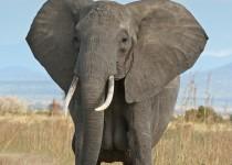 African_Bush_Elephant