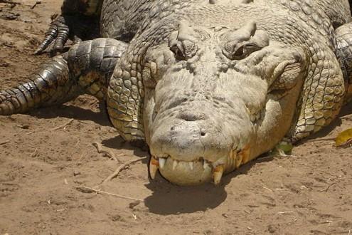 تمساح يفترس أشرس كلب في العالم أمام أعين صاحبته!