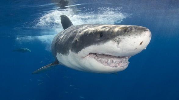 غواص يحرم سمكة قرش ضخمة من أسنانها
