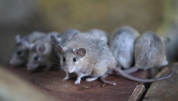 الفئران تأكل الجثث المكدسة في مركز للتبرع بالأعضاء في فرنسا !