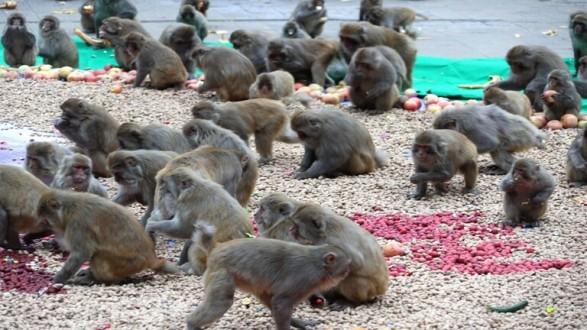جحافل القردة تطرد سكان قرية من منازلهم