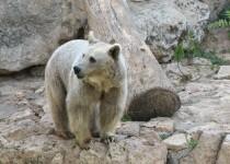 Syrian_Brown_Bear_on_rocks